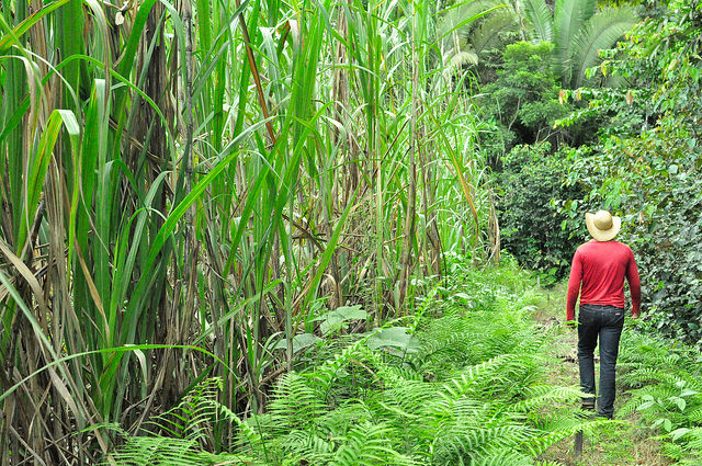 Brazil's transgenic sugarcane stirs up controversy