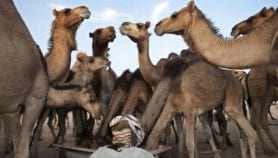 Camel vaccine curbs MERS threat at source