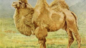 Camel milk's development promise neglected by research