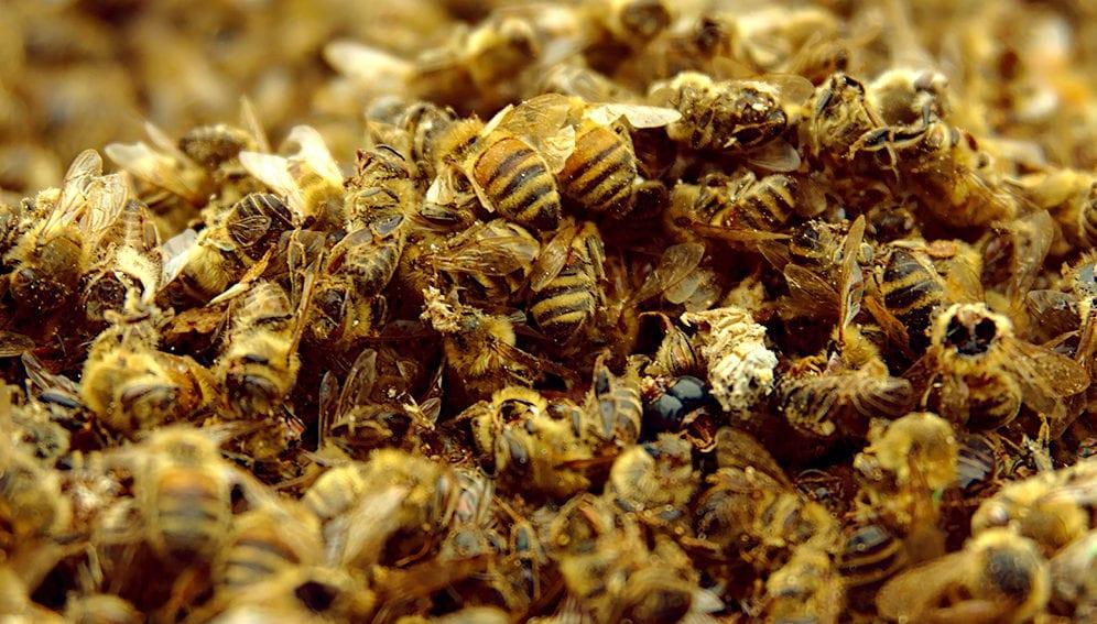 Dead bees - Main
