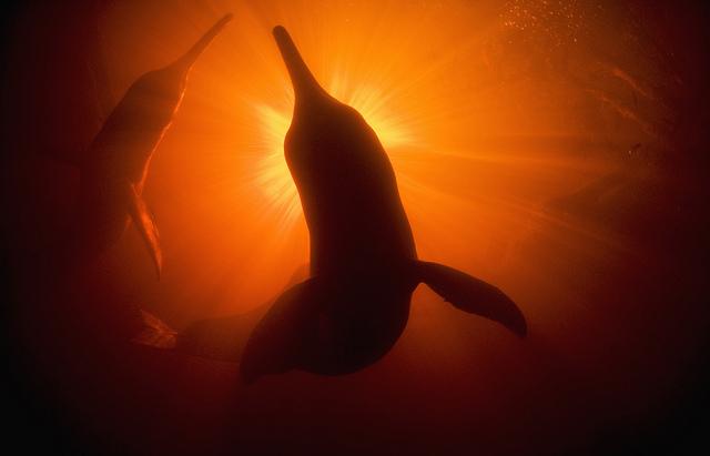 delfines amazonas Schafer