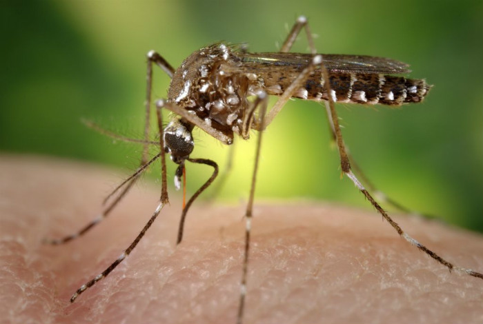 dengue mosquito.jpg