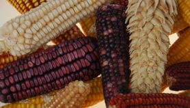 Creole maize reveals adaptation secrets