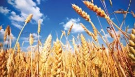 Wheat ancestor sequencing could bolster modern harvests