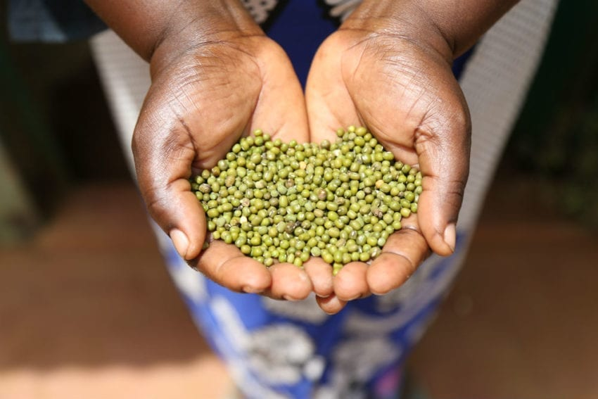 And from the projects farmers get good harvests such as green gram loaded with nutritional health benefits of high protein, low calorie food that is packed with vitamins and minerals