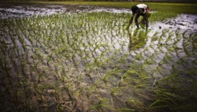 Course grains better than rice for health, environment