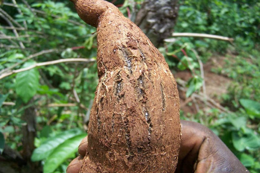 Infected cassava root harvested in cassava farm