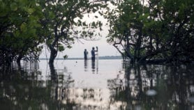 Aquaculture is main driver of mangrove losses