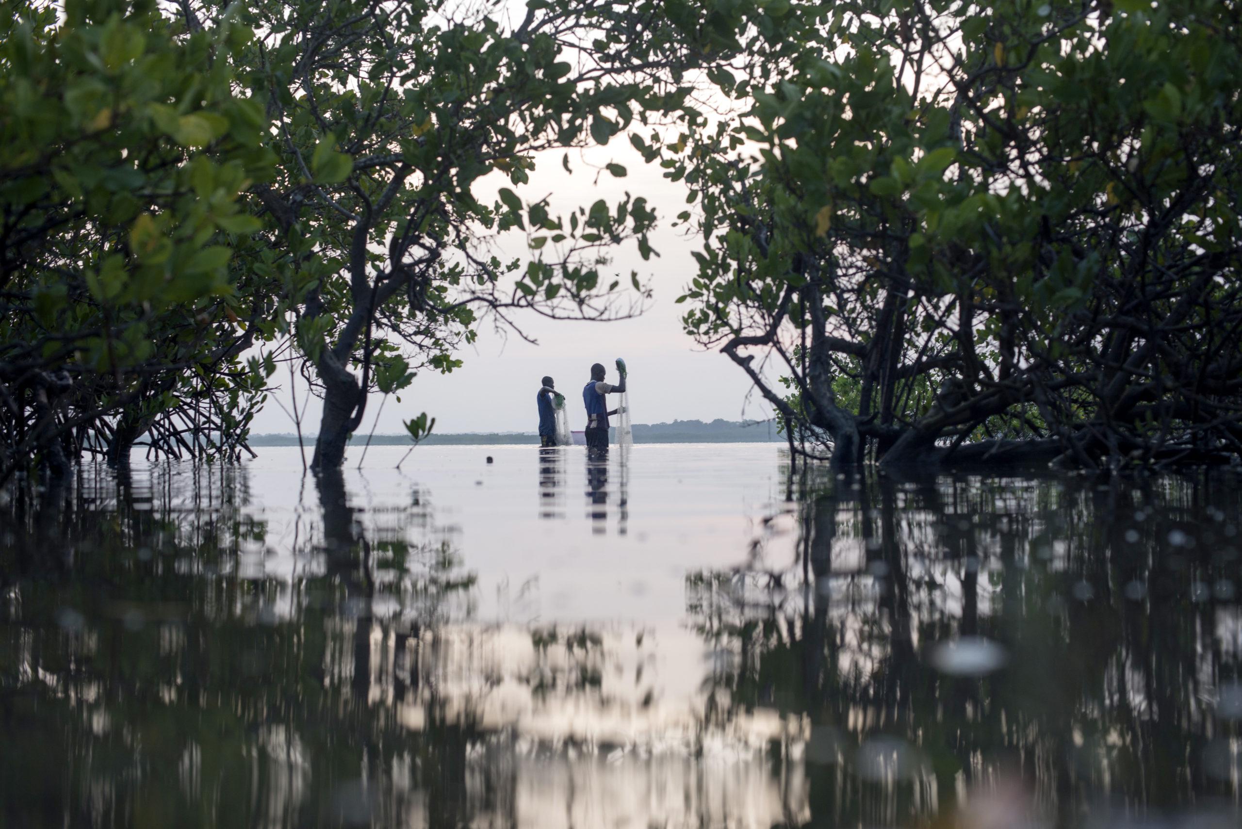 Aquaculture is main driver of mangrove losses