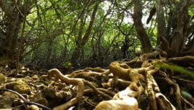 Well-managed mangroves 'can survive rising sea levels'