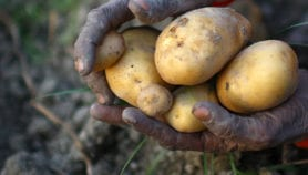 Potatoes, allies on Earth and on Mars