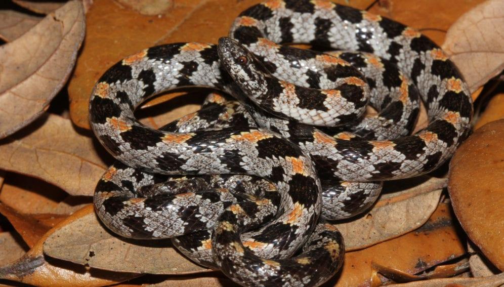 Snake_Flickr_Florida Fish and Wildlife