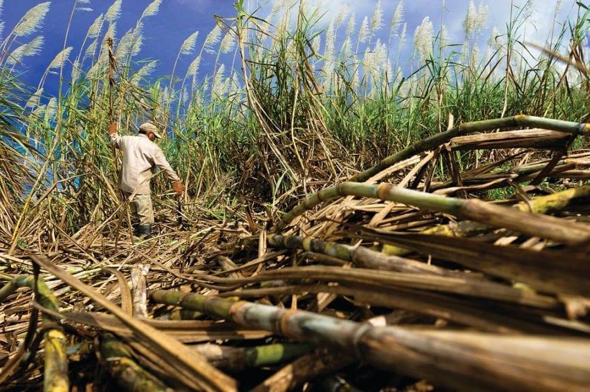 sugarcane by pixabay