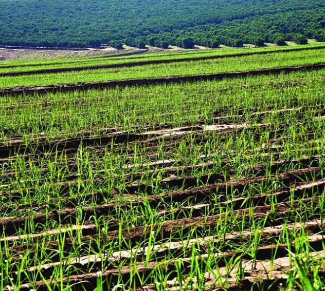 Sugarcane_cultivation_Flickr_Sweeter Alternative.jpg