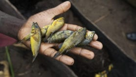 FAO warns of tilapia virus as outbreak spreads