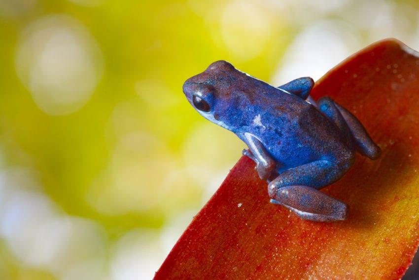 Tropical Frog_Flickr_Ecocircuitos Panama