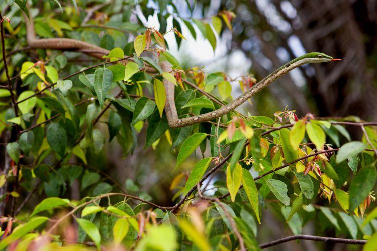 twig snake