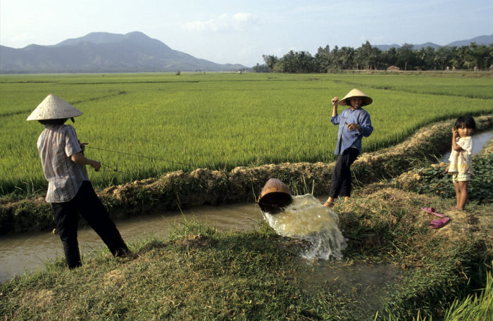 Women using a bucket to transfer water onto paddy fields