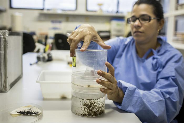 Zika fever mosquito testing brazil.jpg