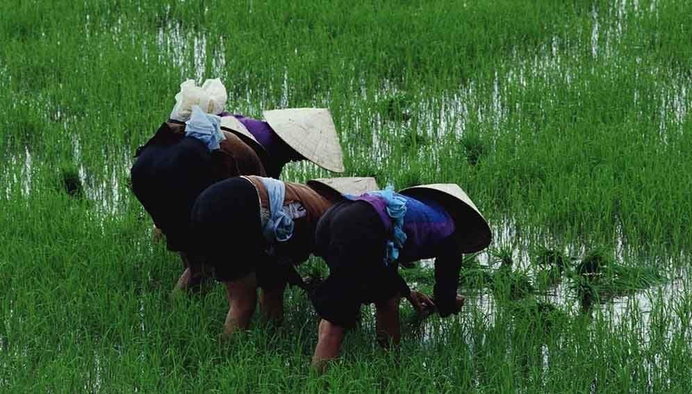 CABI_Field_Rice_MAIN