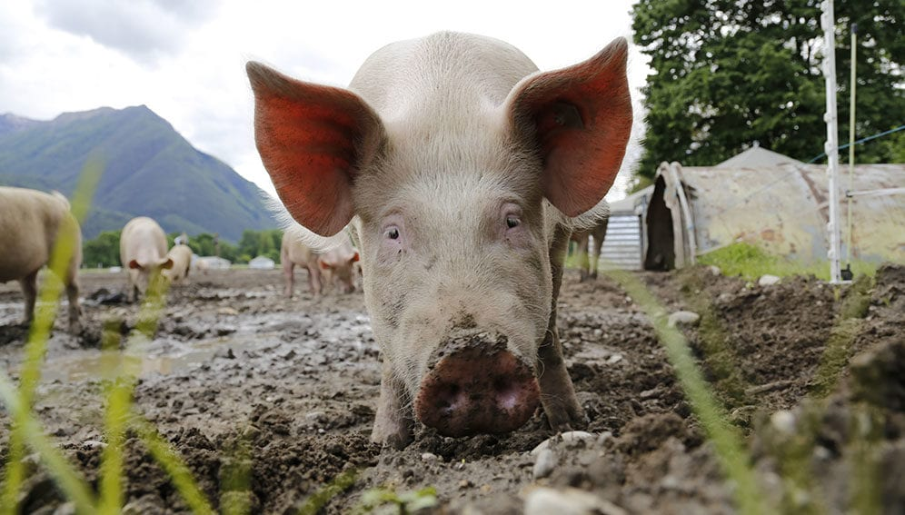 AMR - Spotlight - The scourge of antibiotics in animal feed - PIGs