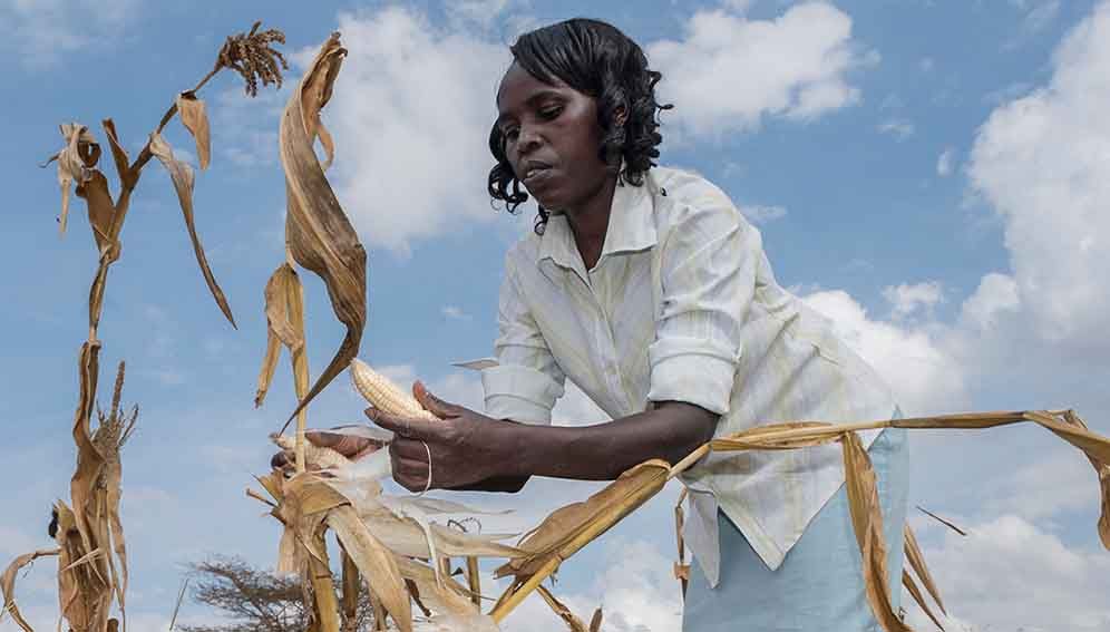 Harvest maize in farm