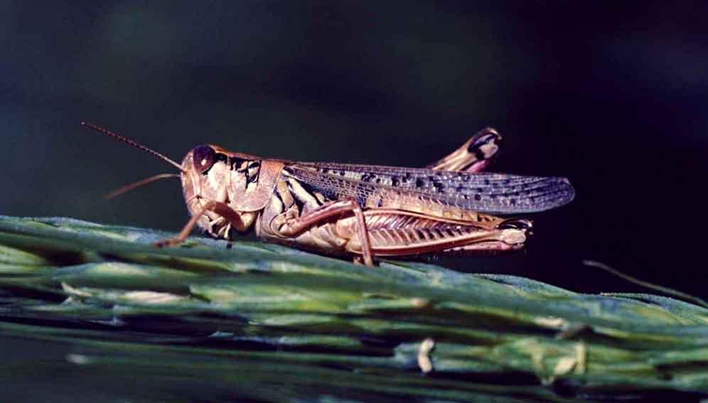 East Africa's operation locust swarm