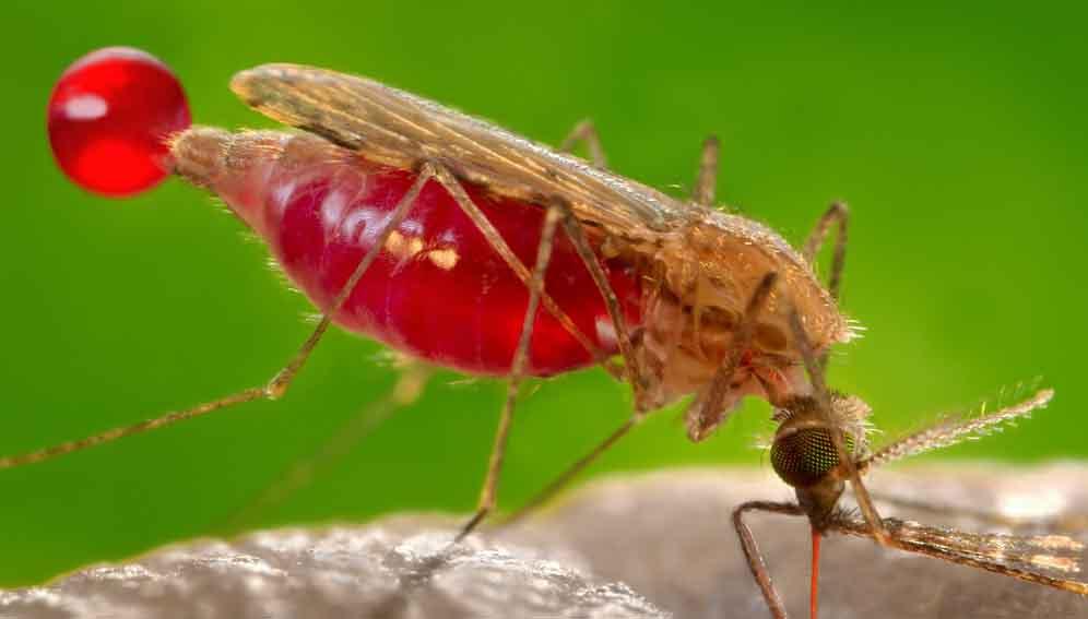 Malaria: Artemisinin resistance emerges in Africa