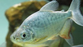 Amazon fish 'face new threats'