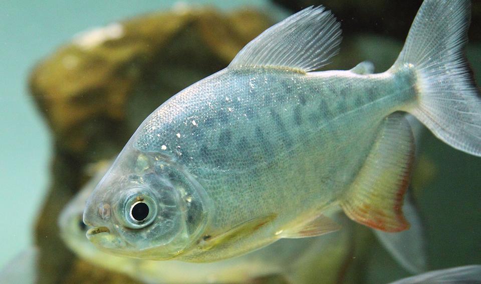 Tambaqui - Pacu - Colossoma macropomum SDN