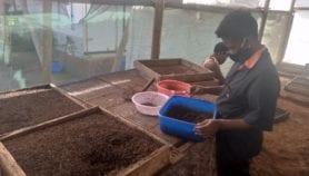 Maggots new protein craze in Uganda