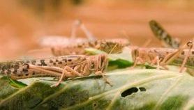 Locust invasion spawns new food threat