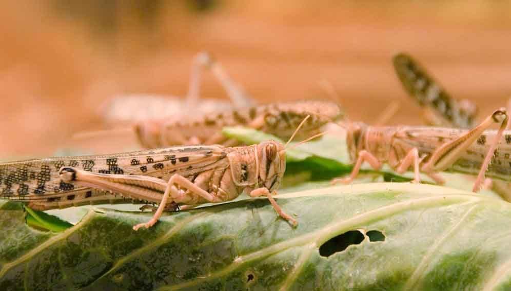 Locusts on leaves