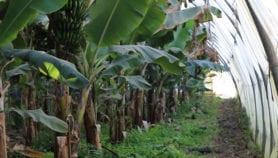 الموز المنتج محليًّا يطرق الأسواق الجزائرية