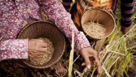 جبن مطبوخ بنخالة الأرز