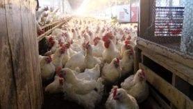 نظام تدفئة وتهوية اقتصادي لمزارع الدواجن