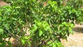 استزراع الجاتروفا بالصحاري يختزن الكربون