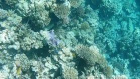 شعاب البحر الأحمر عصية على التغيرات المناخية