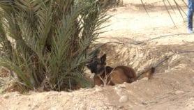 تجربة الكلاب في كشف سوسة النخيل بمصر