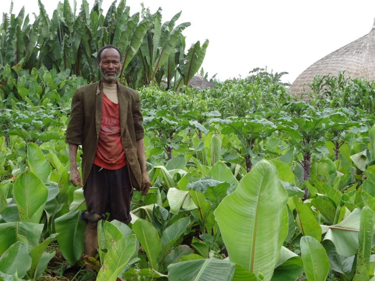 Farmer intercropping cabbage and Enset, Sidama, Ethiopia