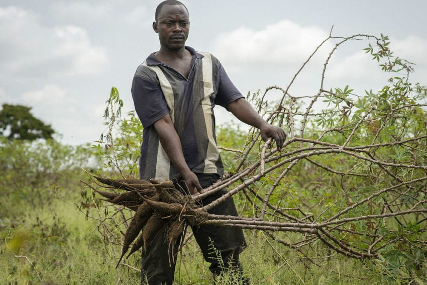 A farm worker displays the edible tubers