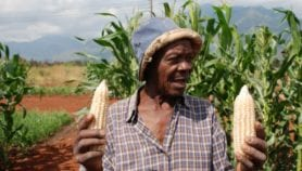 Smallholders gaining from nitrogen-efficient maize