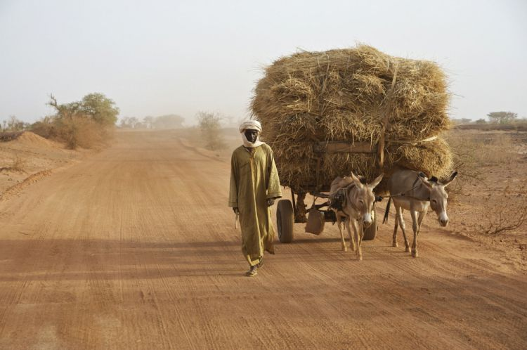 A man walking with his donkey carts loaded with cattle feed