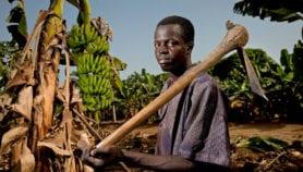 Genomic models predict shorter time for banana breeding