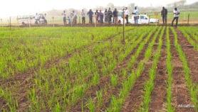 Cutting nitrogen fertiliser amounts raise rice yields