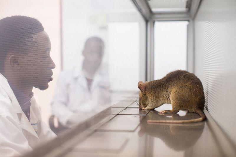 Apopo rat in a lab