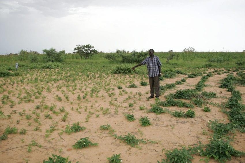 cowpea field