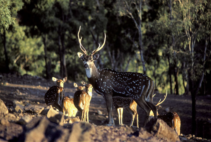 Deer with young on the outskirts of a forest