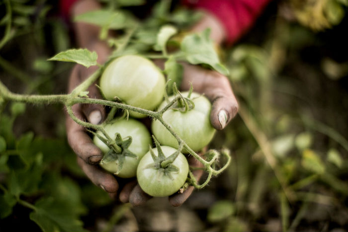 farmer displays a crop of tomatoes