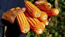 Biocontrol tech slashes aflatoxin levels in Tanzania
